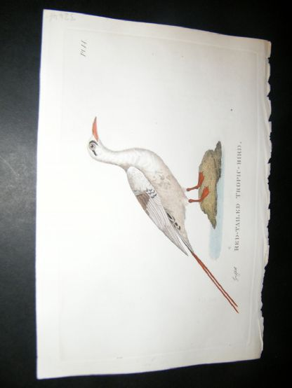 Shaw C1800's Antique Hand Col Bird Print. Red Tailed Tropic Bird